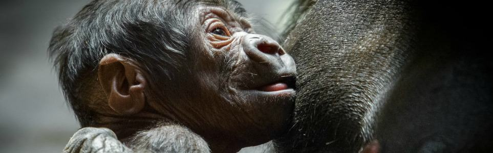 Prague Zoo's Newborn Miracle Gorilla Is Thriving
