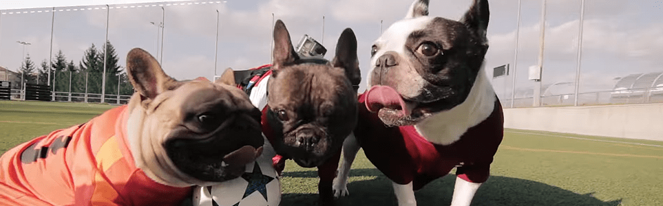 WATCH: Adorable French Bulldogs Face Off in Prague Football Match
