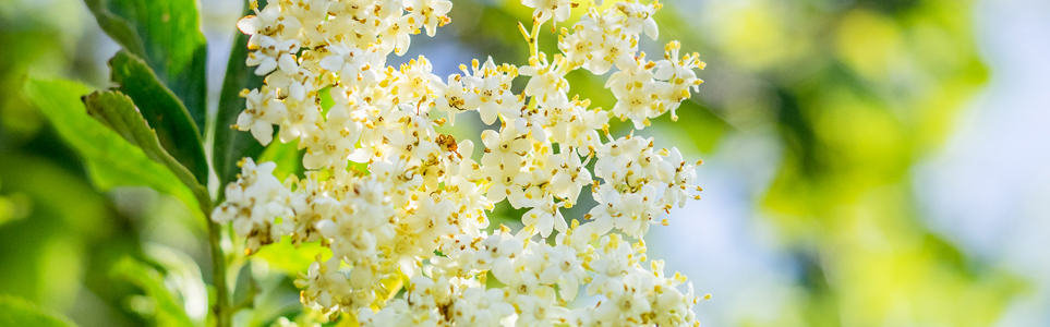 A Rare Czech Summer Treat: Fried Elderflowers