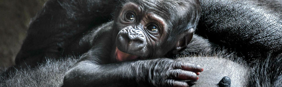 It's a Boy! And You Can Name Prague's Newest Gorilla