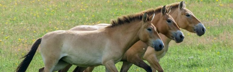 Prague Zoo Releases Rare Horses into the Wild