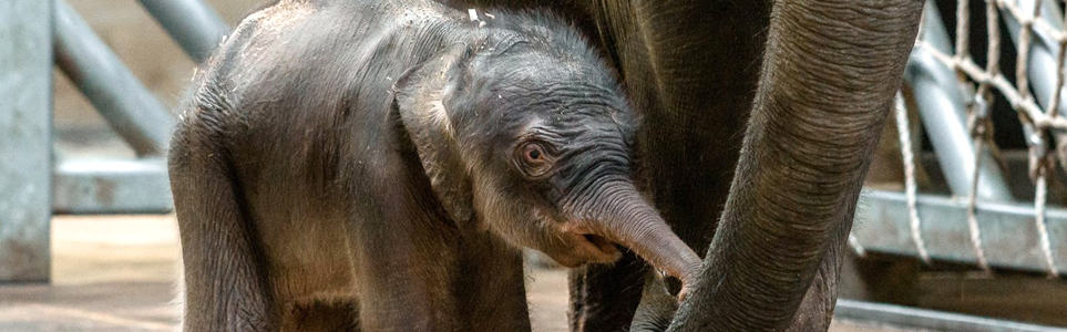 Baby Brother! Elephant #2 Born at Prague Zoo