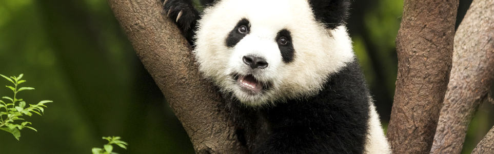 Prague Zoo to Build Panda Pavilion