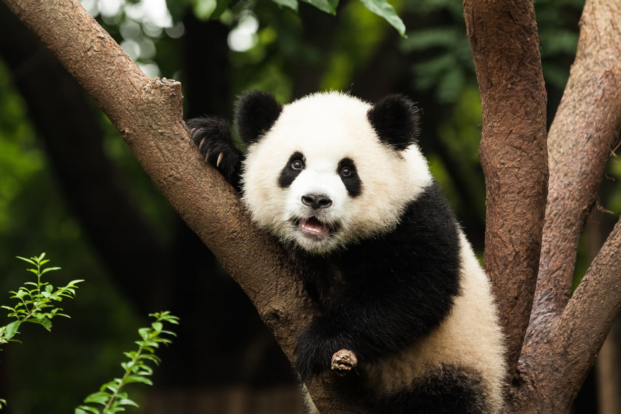 Giant pandas won't be coming to Prague Zoo any time soon
