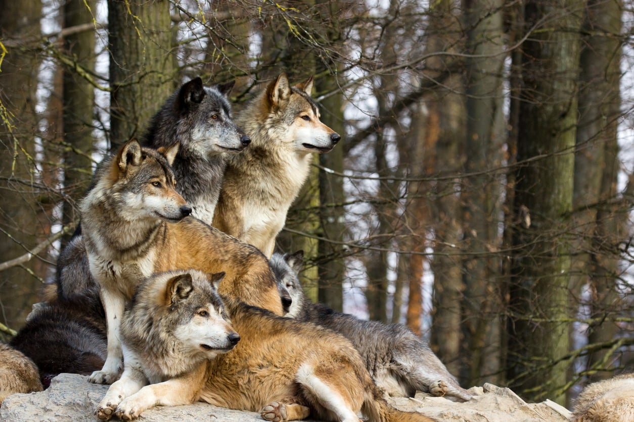 Wolf packs are returning to the Czech Republic
