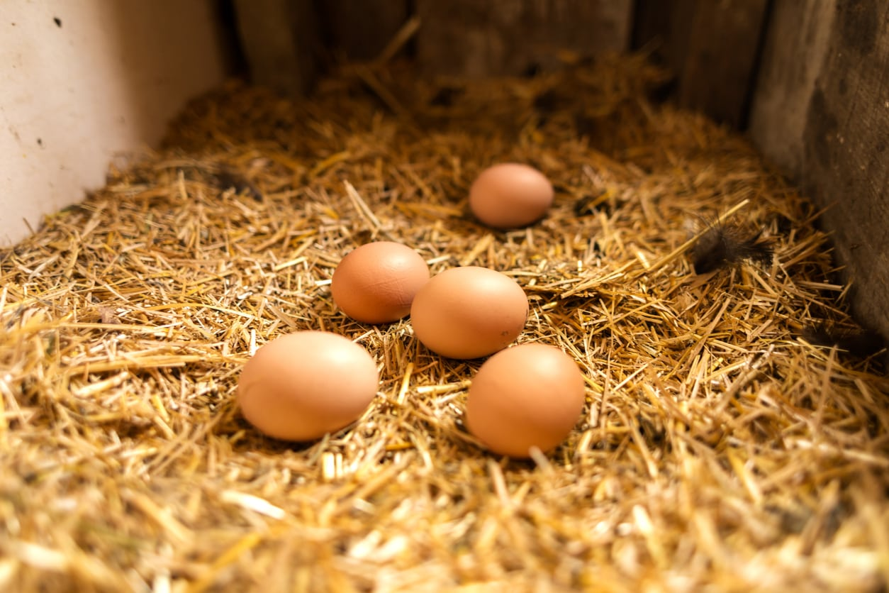 Czech egg production to go cage-free by 2025