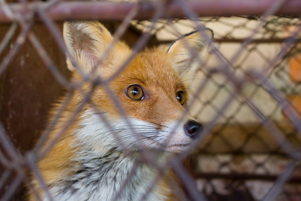 Full ban on animal fur farms in the Czech Republic is now in effect