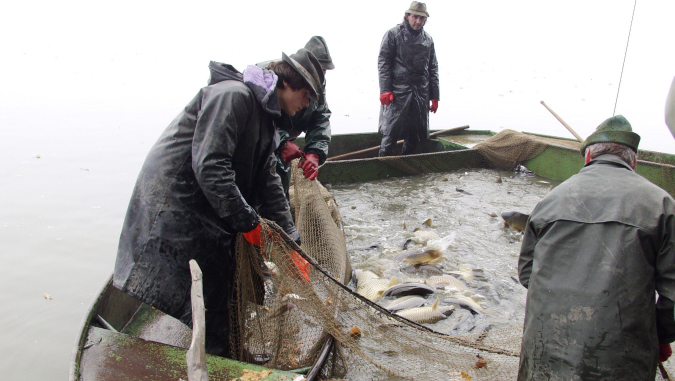 Traditional carp-harvesting festivals now taking place in ponds throughout Prague and the Czech Republic