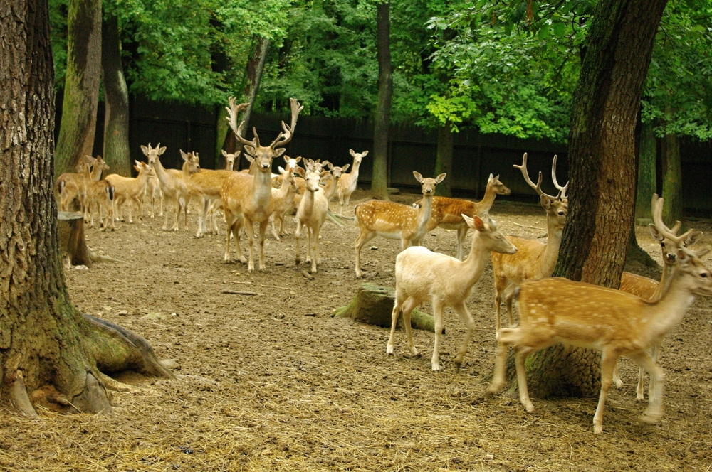 deer in a forest setting