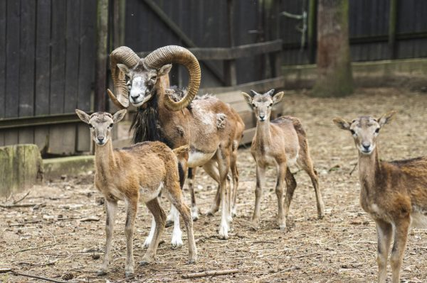 Merry mouflon! Prague's forest zoo invites animal lovers to a festive feeding session