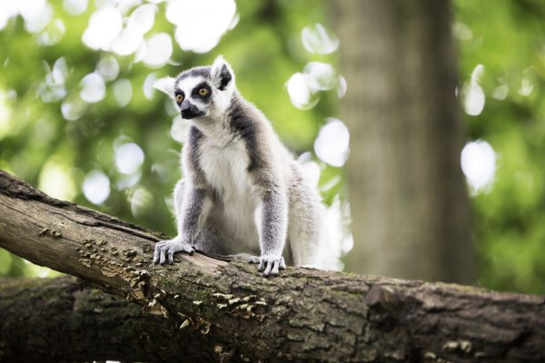 Ring-tailed lemur at Prague Zoo, Czech Republic