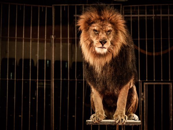 Lion in circus cage via iStock.com / NejroN