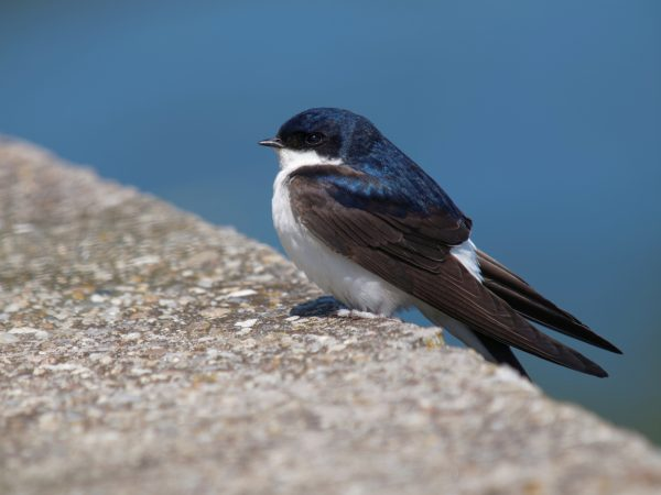 Common house martin via iStock.com / tonigenes