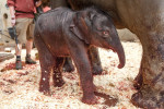 First photo of the newborn elephant via Facebook / Zoo Praha, Roman Vodička