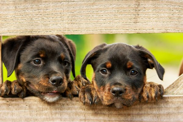 Rottweiler puppies; illustrative image via kim_hester from Pixabay