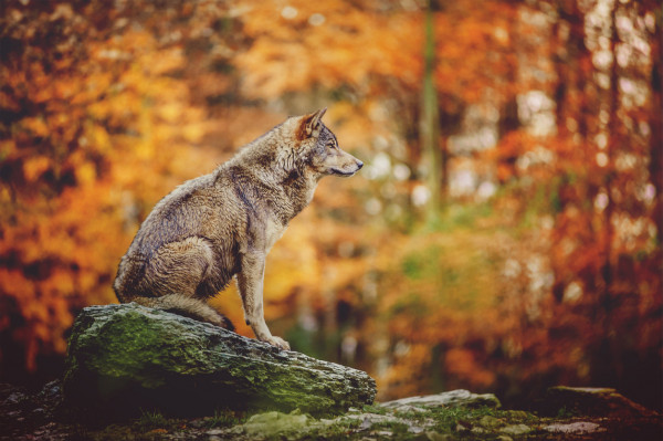 Wolf in the autumn forest via iStock / Veronika Dvořáková