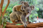 Mother koala with baby on her back via iStock / AlizadaStudios