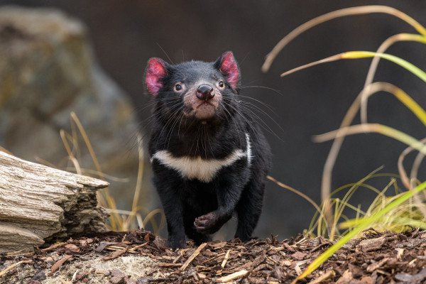 Nutmeg the Tasmanian Devil at the opening of Darwin's Crater at Prague Zoo (photo Prague Zoo)