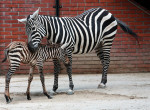 Maneless zebra photo via archives of the Liberec Zoo