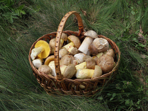 Photos of mushrooms in a basket. Photo: George Chernilevsky / Public domain